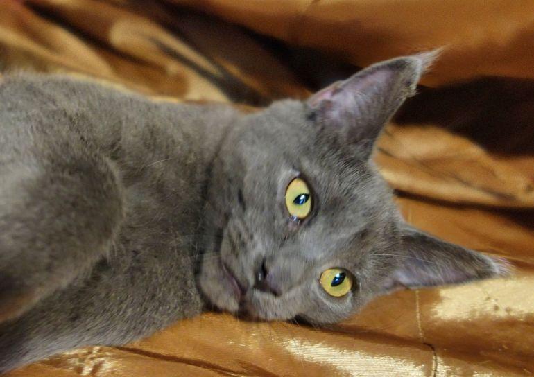 Метис британки котёнок Юнона ищет дом