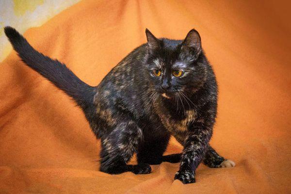 Ласковая кошка Шизгара в добрые руки