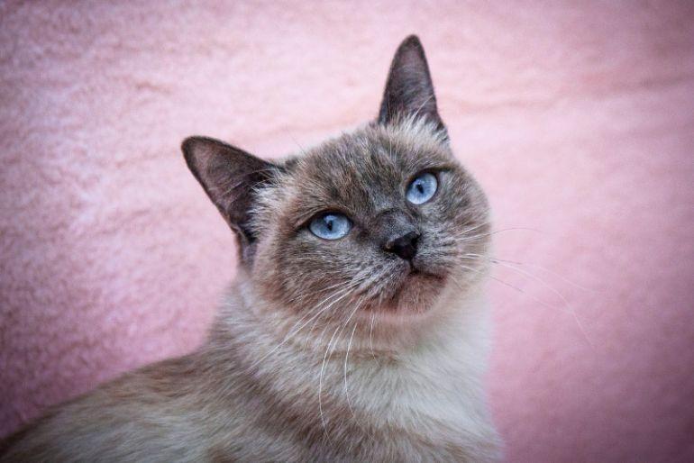 Сиамская (тайская) кошка Мисти ласковая и красивая