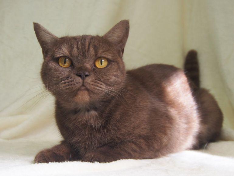 Шоколадная британская кошка Юмико