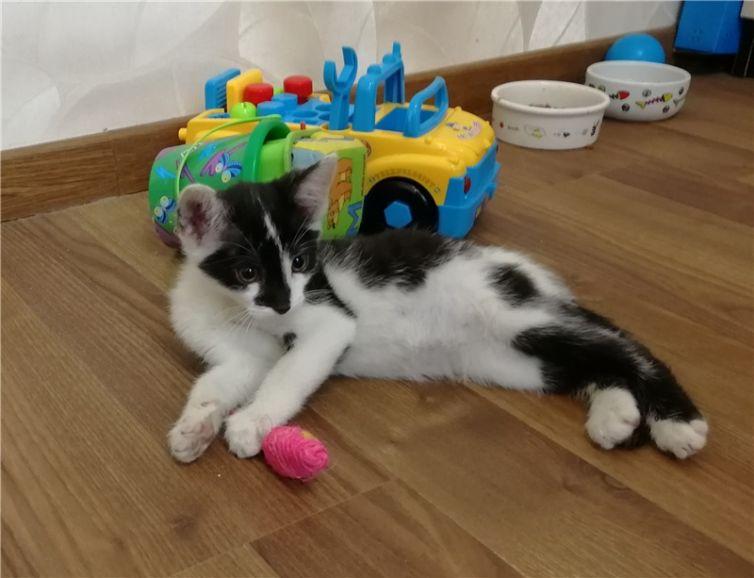 Котенок Прима, 2,5 месяца в добрые руки