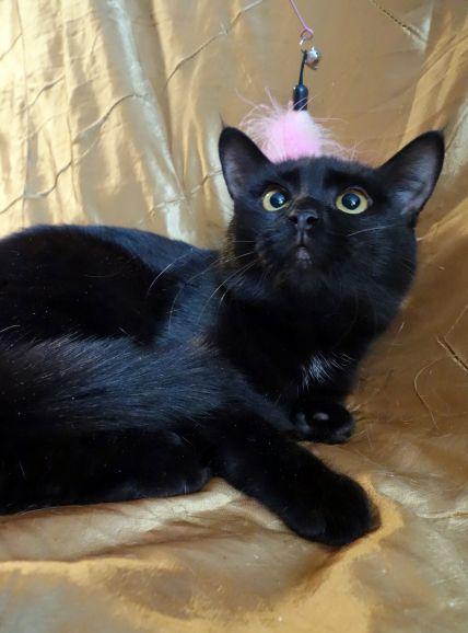 Котёнок Ханума - ушки кисточки, ищет дом