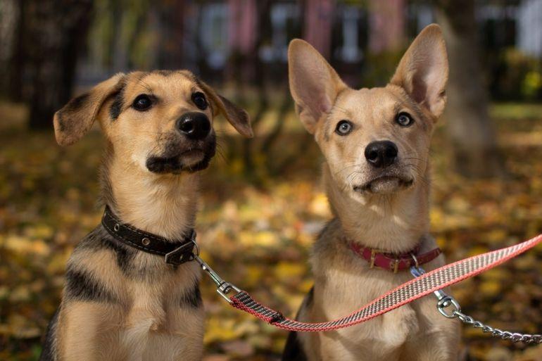 2 щенка-девочки в добрые руки