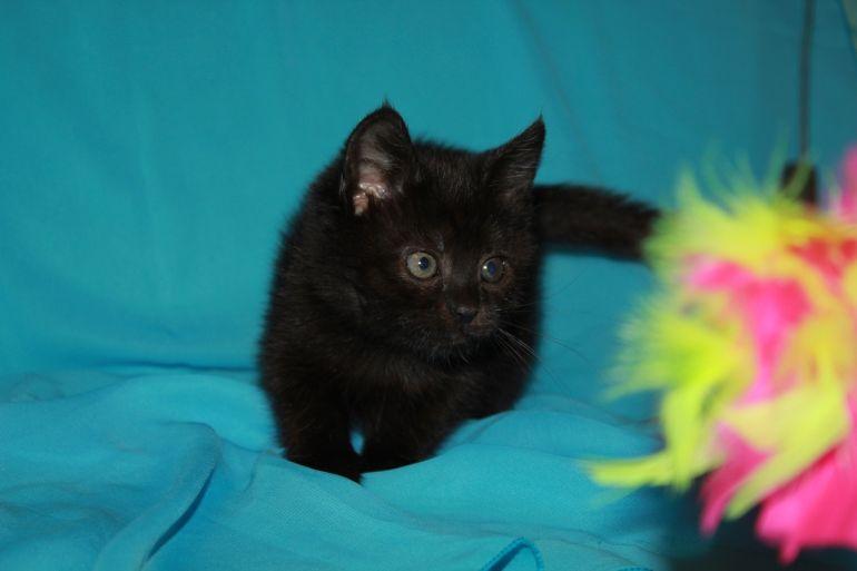 Эльза, чёрный колобочек. Котёнок 1,5 месяца в дар