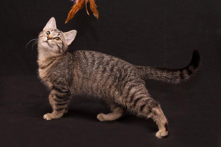 Ласкушка Томочка в тигровой шубке, котёнок, 4 месяца, в дар