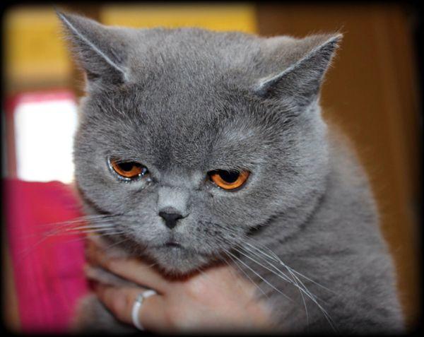 Британская кошечка София ищет хозяев