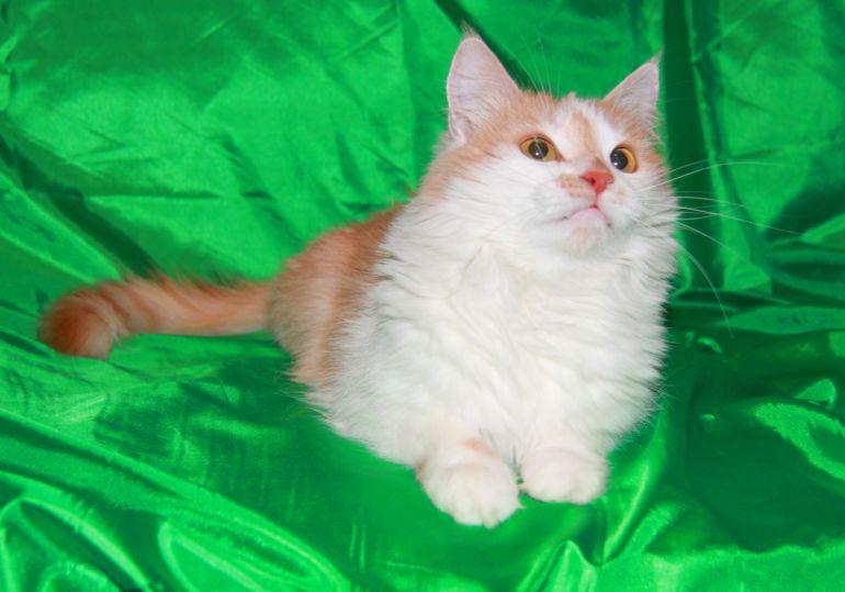 Идеальная кошка Липа ищет свою семью