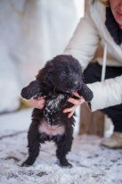 Крошечные щенки в дар