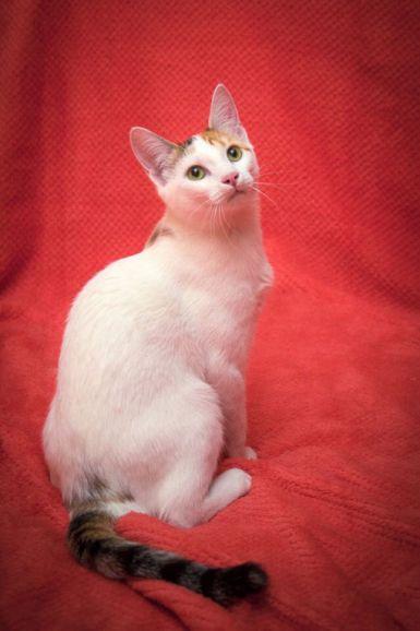 Чистоплотная, ласковая кошечка Лили в дар, 11 месяцев