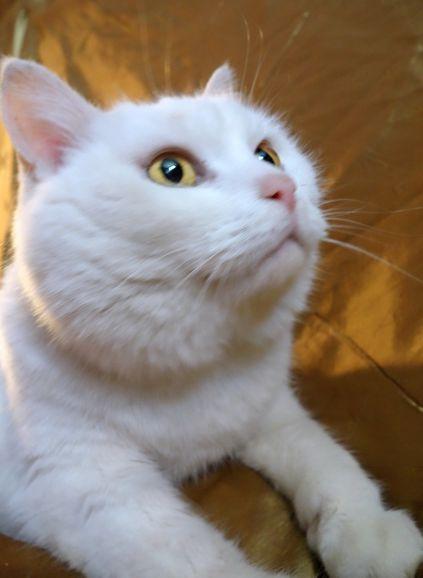 Кошка Анабелла светлая душа ищет дом