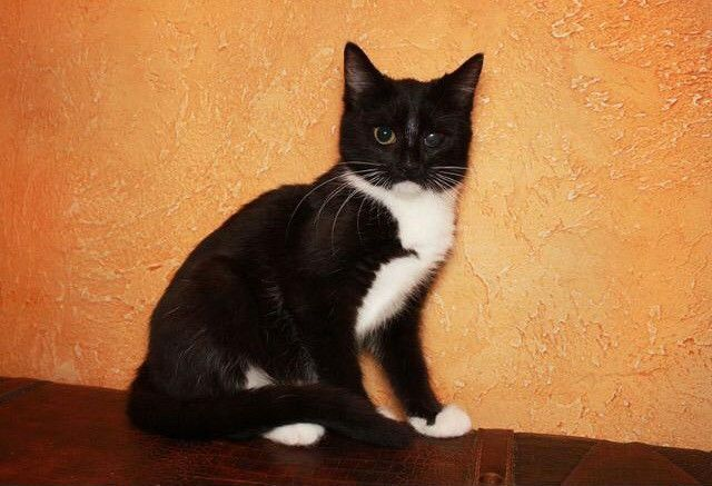 Анфисочка-маркизочка, котёнок, 4 месяца, в дар