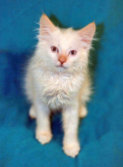 Бобтейл котёнок по имени Брюлик ищет дом