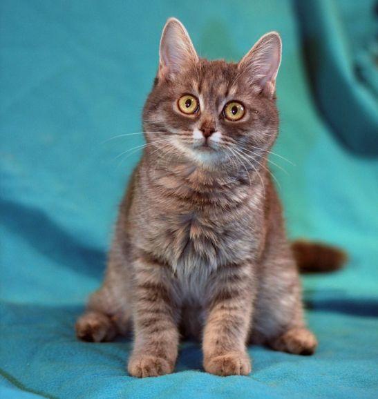 Котёнок полосатая девочка Йова в дар