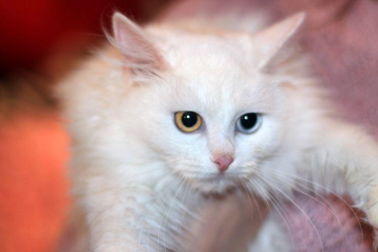 Ищем дом белой разноглазой кошке Цветику