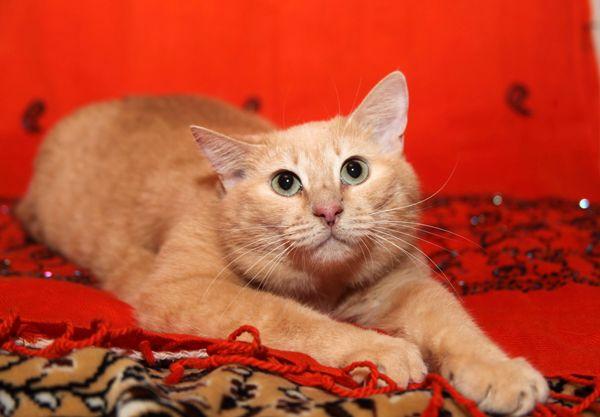 Мандаринка - роскошная кошечка в добрые руки