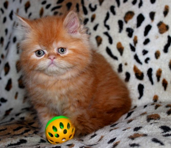 Персидский котик красный мрамор Марсель