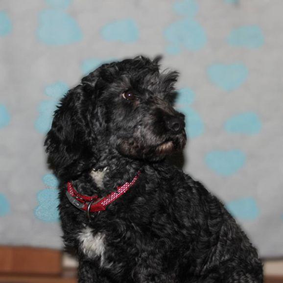 Метис пуделя Тея - маленькая собачка,  ищет дом