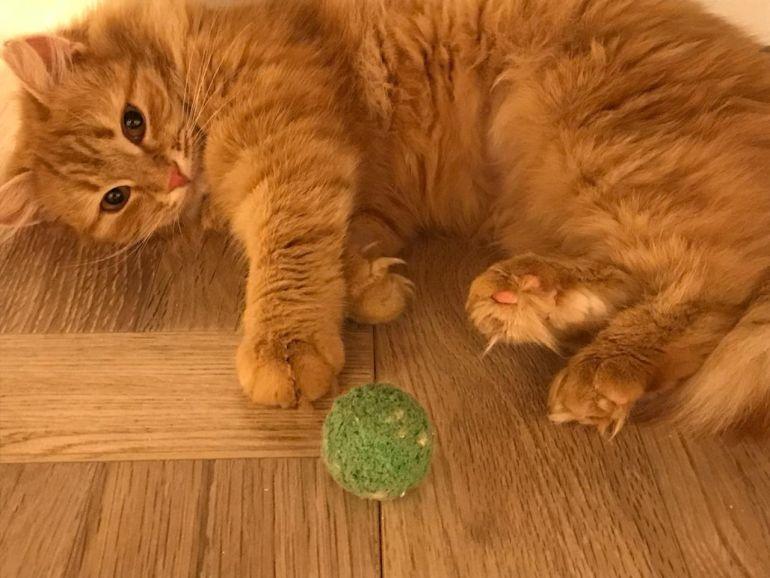 Солнечная кошка Шерри в добрые руки