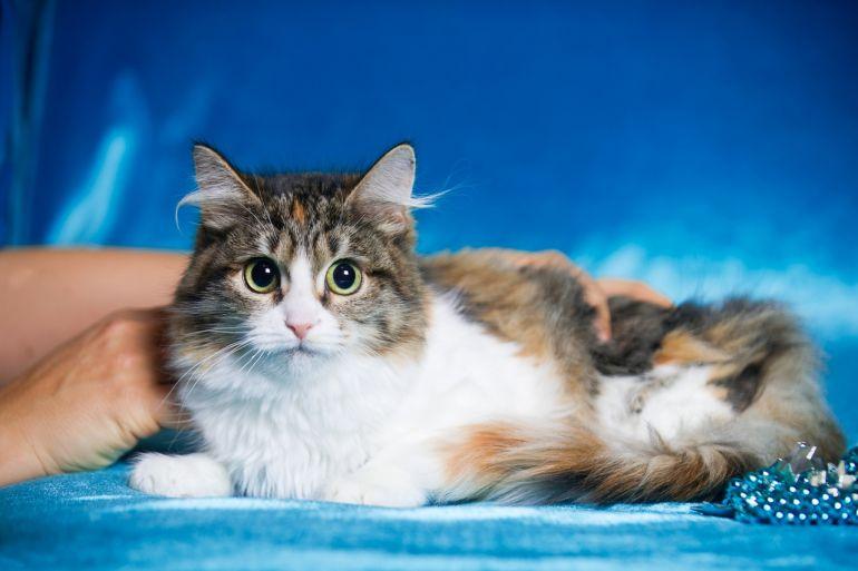 Роскошная кошка-подросток Нимфа в дар