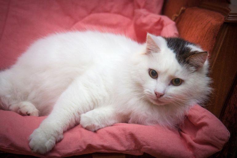 Ласковый пушистый белый кот Антоша