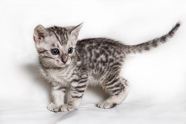 Котёнок Саванна Ф5