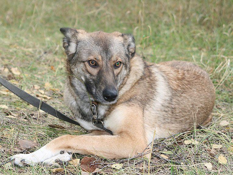 Очень хорошая собака Леся страдает в приюте