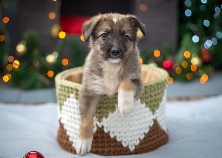 Щенки Прошенька, Лушенька и Кнопочка - идеальные квартирные собачки