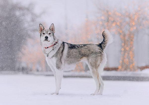 Сага - величественная волчица с наивным взглядом ребёнка
