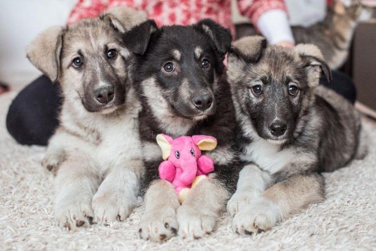 Чудесные щенки в дар