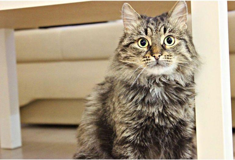 Молодой котик-сибиряк Кузенька в добрые руки