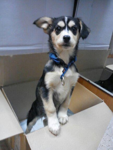 Красавица Актриса, 3 месяца, щенок, метис хаски ищет хозяев