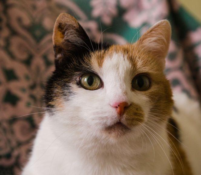 Кошечка Элли ищет дом, в добрые руки