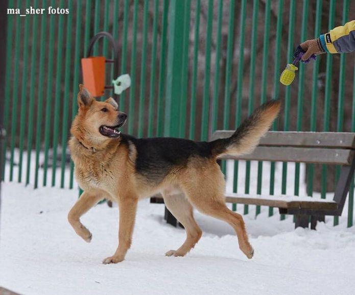 Крупный умный пёс Рыжий ищет хозяина