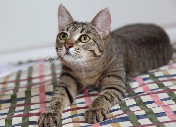 Красивый кот Тигра ищет хозяев