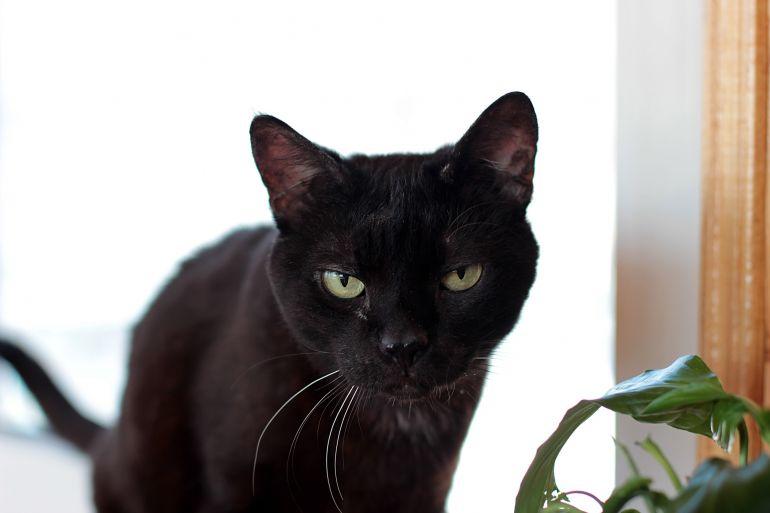 Кошка Багира ищет дом
