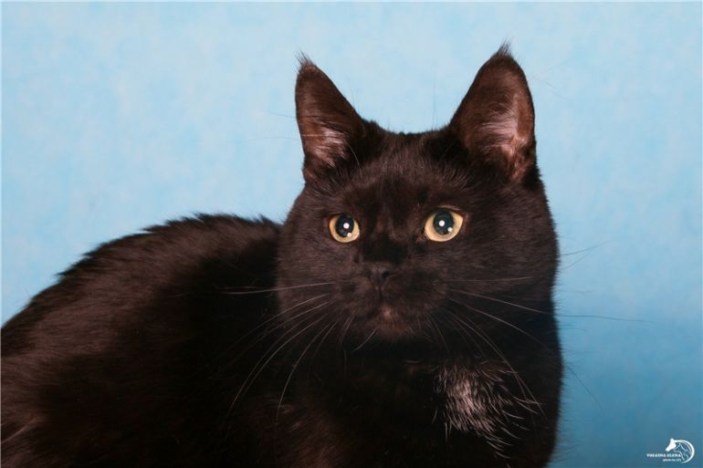 Шикарная черная кошечка ищет дом.