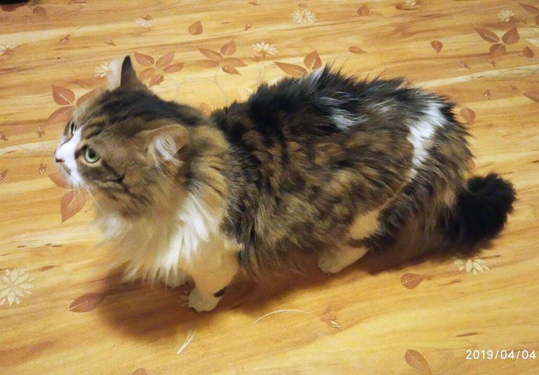 Очень пушистый домашний кот Тишка в добрые руки