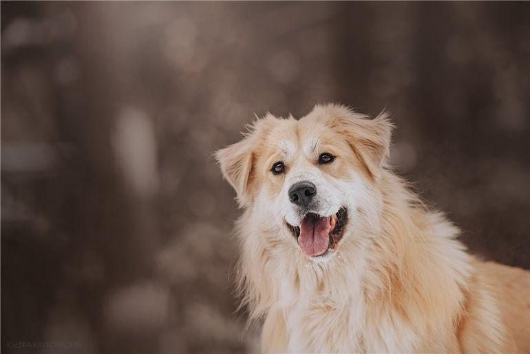 Шикарный пёс Нортон в добрые руки.