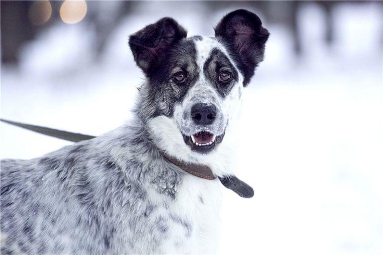 Чудесная собака Белла в добрые руки.