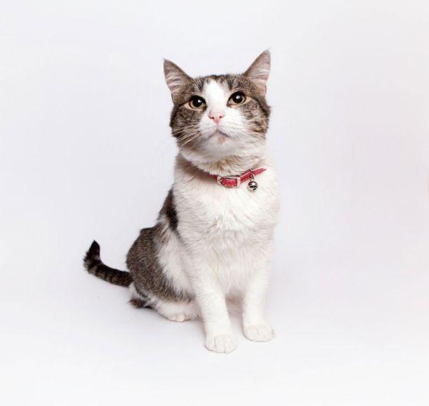 Клеопатра - шикарная кошка для истинных ценителей в дар