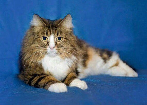 Любаша - сибирская кошка с изумрудными глазами в дар