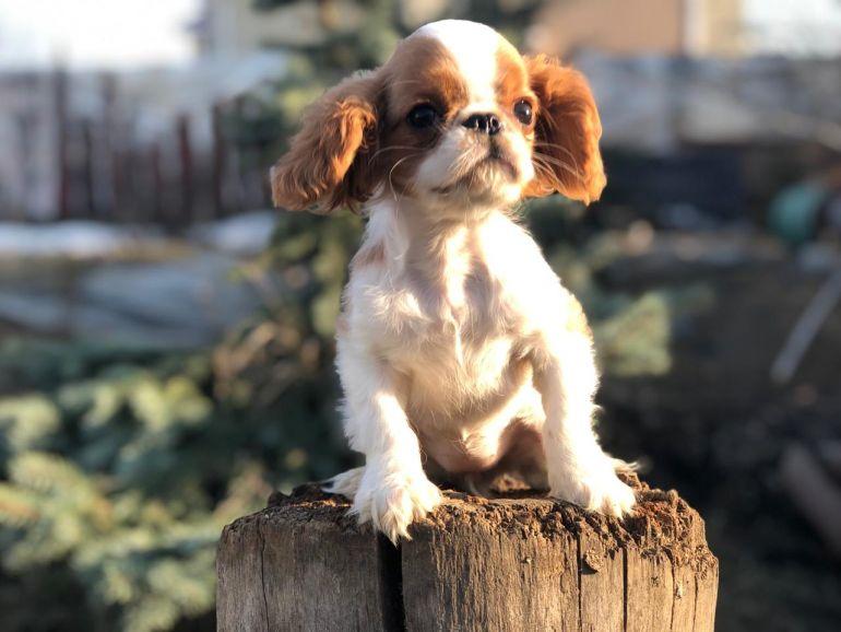 Продаём щенков Кинг Чарльз Спаниель