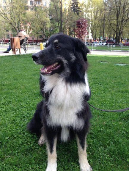 Невероятно красивый пес Байкал ищет дом.