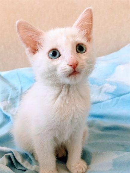 Белоснежный котенок в добрые руки.