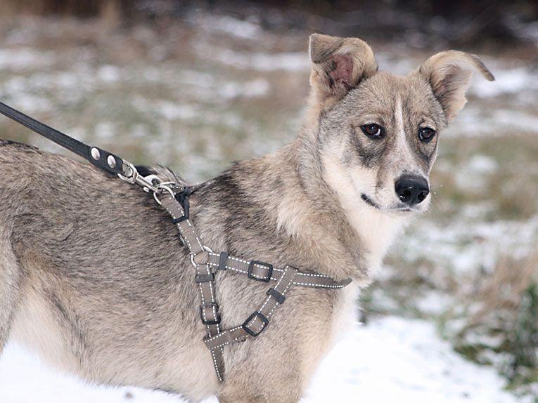 Умненькая юная собака Ася ищет дом
