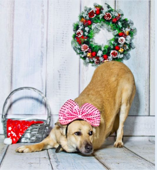 Красивая, умная и воспитанная собака Белочка в добрые руки