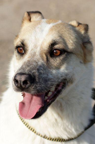 Прекрасная ласковая собака Келли в добрые руки