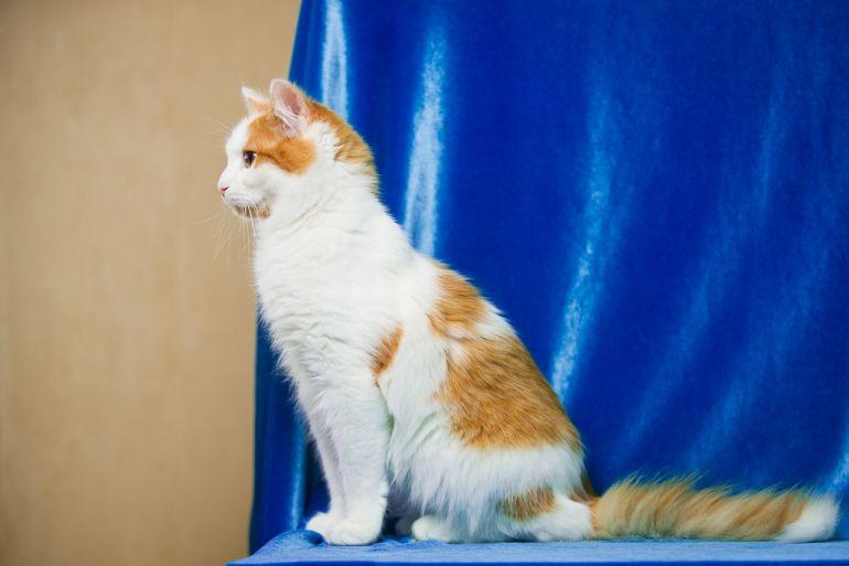 Молодой котик Орфей в дар