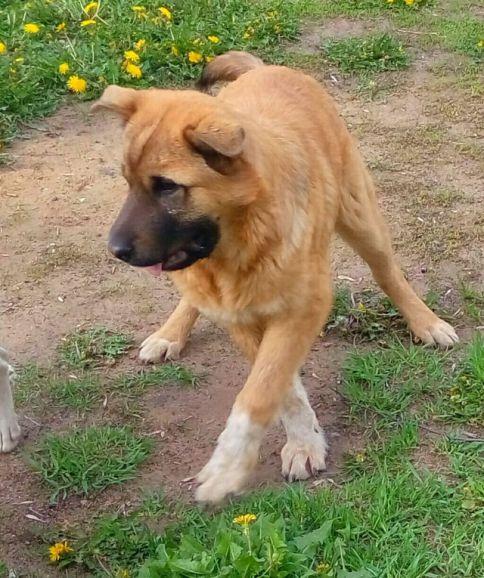 Крупный щенок Альбус - оригинальный метис шарпея в дар