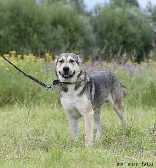 Эдмон - крупный кобель кавказского волкодава в дар